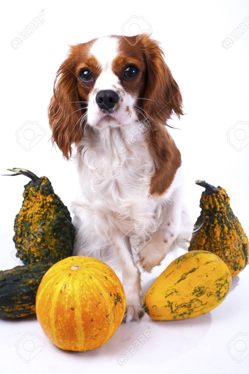 Most Inspiring Cavalier Canine Adorable Dog - 91262446-cute-cavalier-king-charles-spaniel-dog-puppy-on-isolated-white-studio-background-dog-puppy-with-pump  Gallery_201417  .jpg