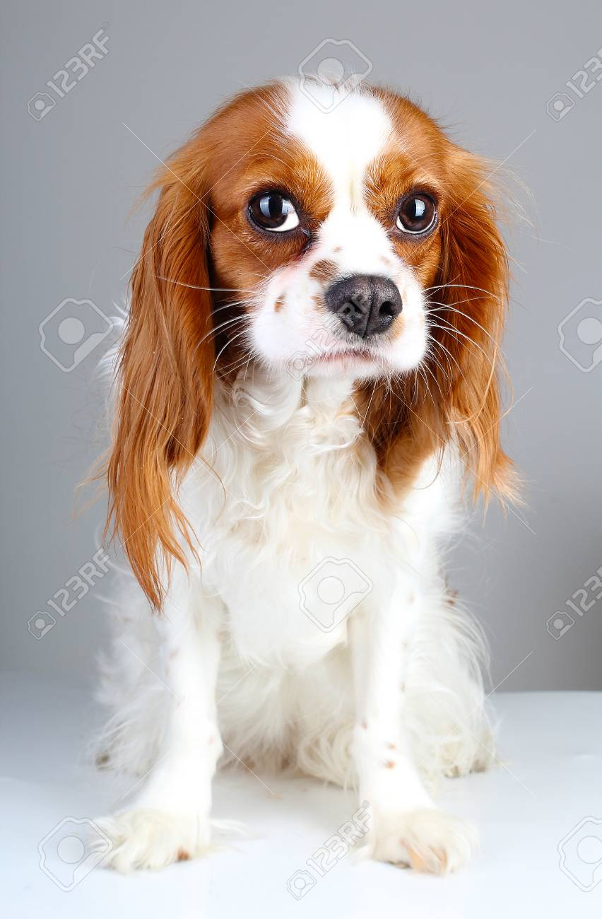 Scared Dog Cute Abandoned Scared Guity Face Cavalier King Charles Stock Photo Picture And Royalty Free Image Image 91834632