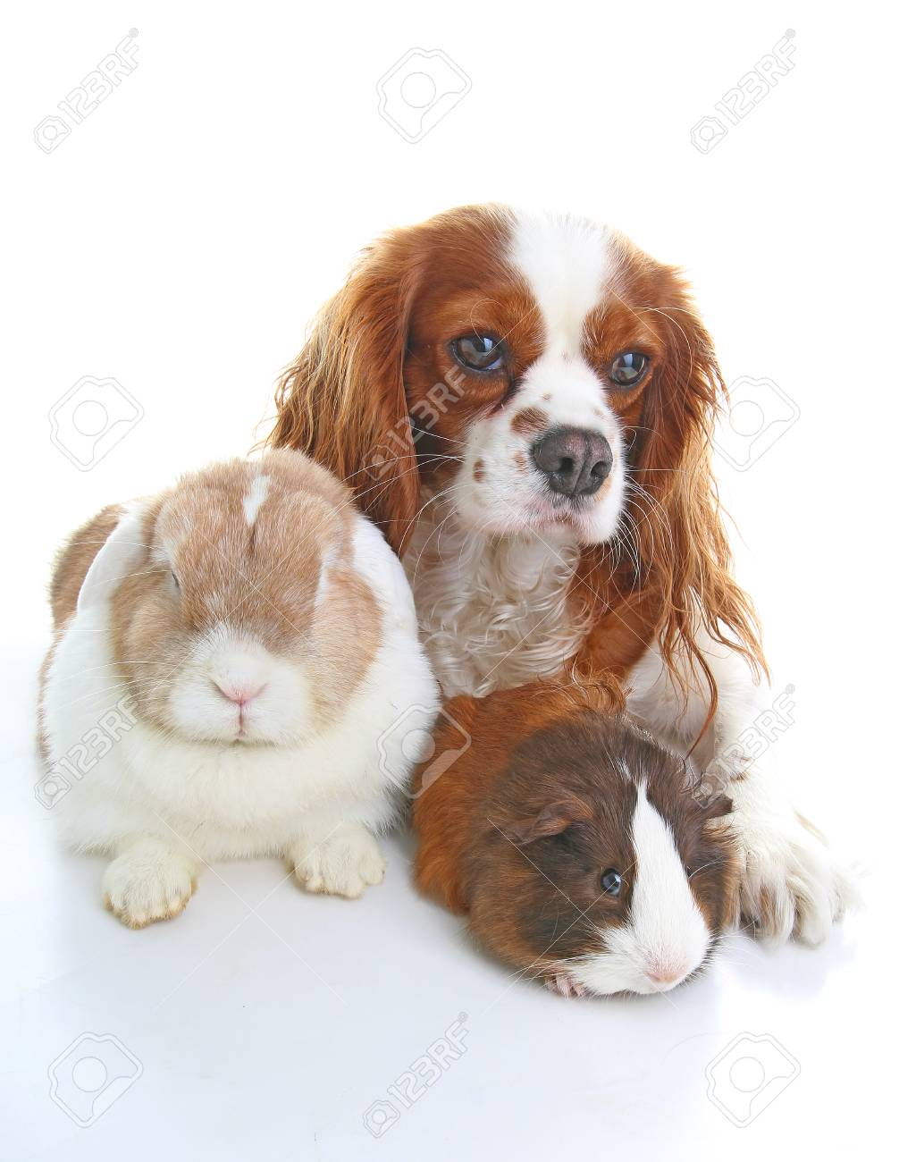 Image of: Deadly Animals Together Real Pet Friends Rabbit Dog Guinea Pig Animal Friendship Pets Loves 123rfcom Animals Together Real Pet Friends Rabbit Dog Guinea Pig Animal