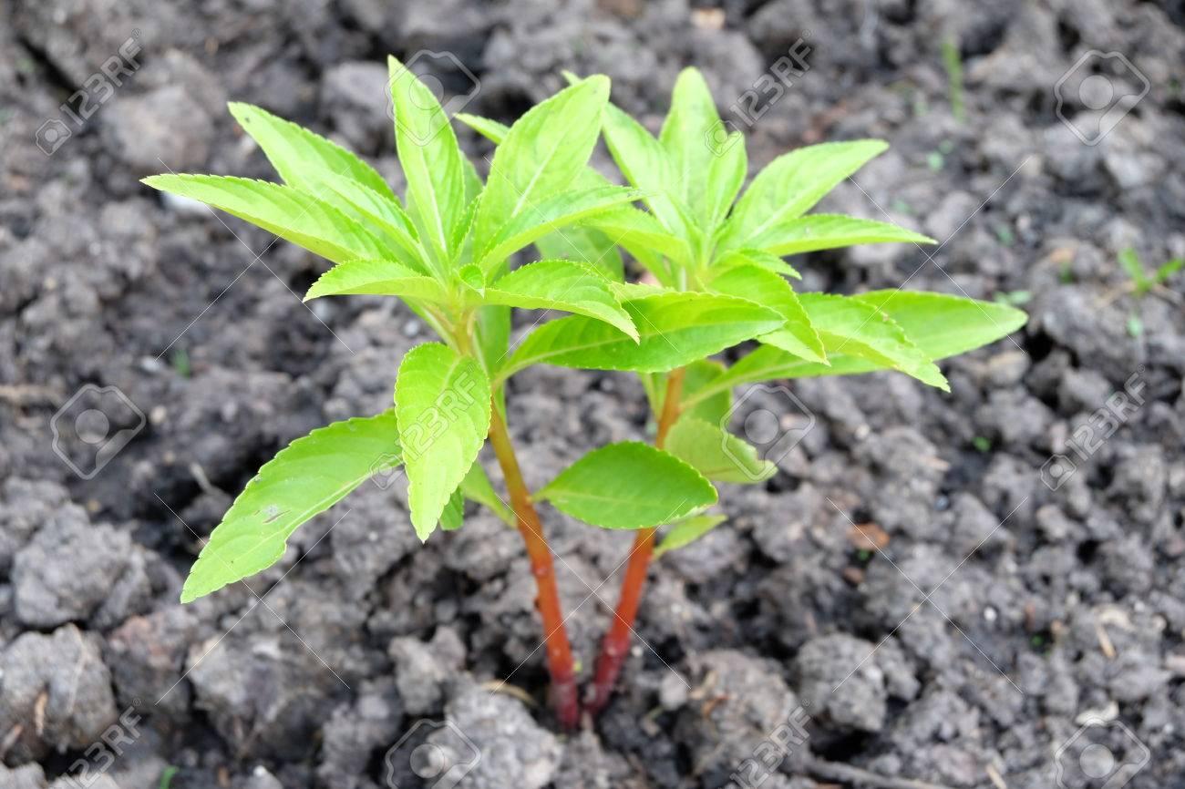 Planta Joven Arbol De Henna En El Vivero De Plantas Fotos Retratos