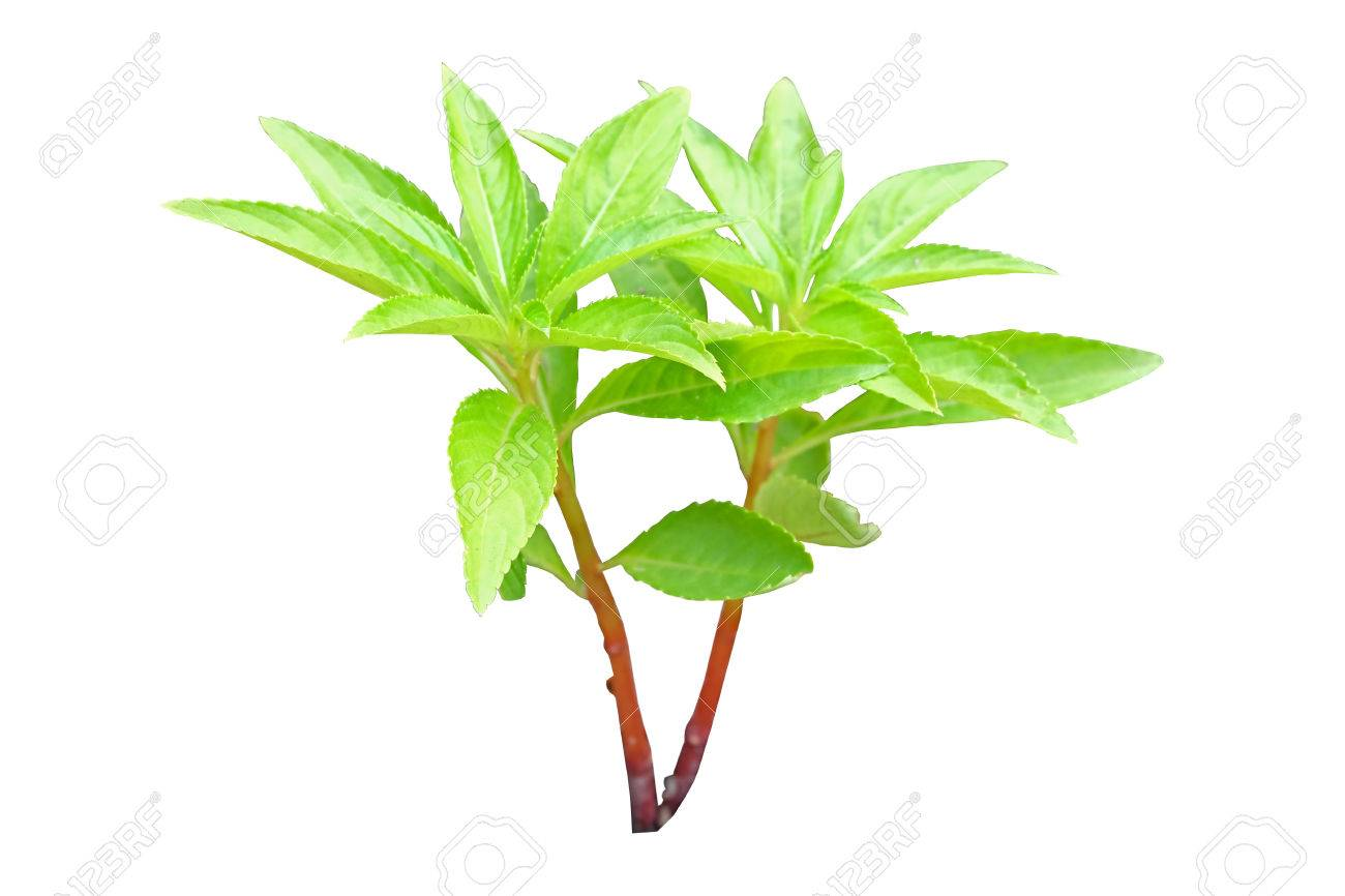 Henna Tree Young Plant Isolated And Have Clipping Path Stock Photo