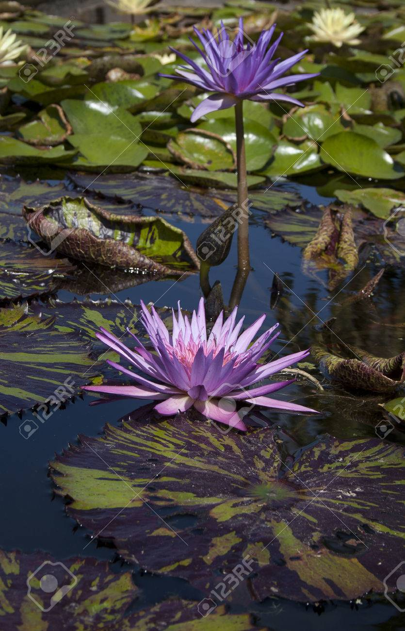 Purple lily flowers with stripped lily pads floating on the purple lily flowers with stripped lily pads floating on the reflective water stock photo 22538288 izmirmasajfo