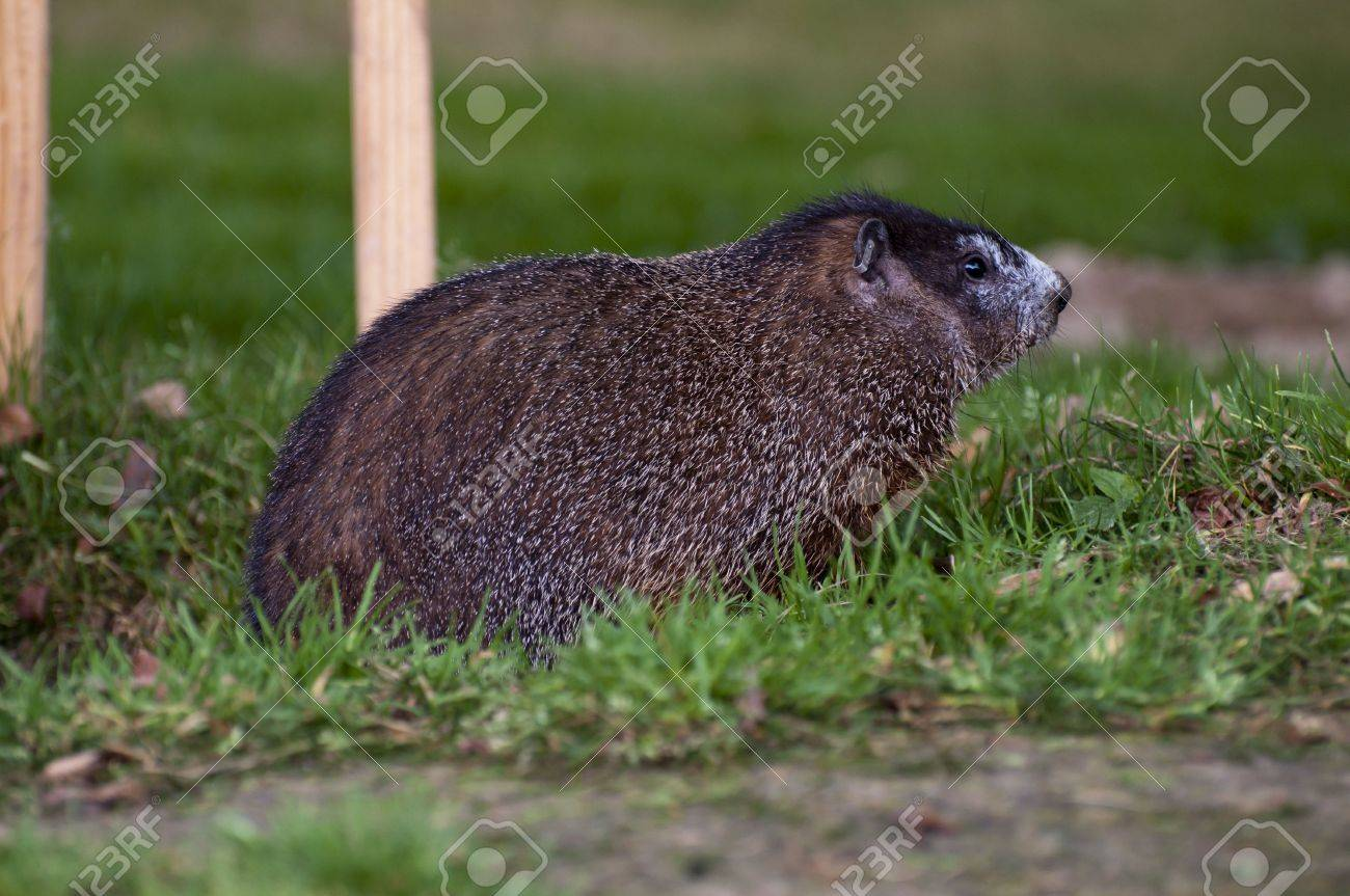 Side View Woodchuck Groundhog Grassy