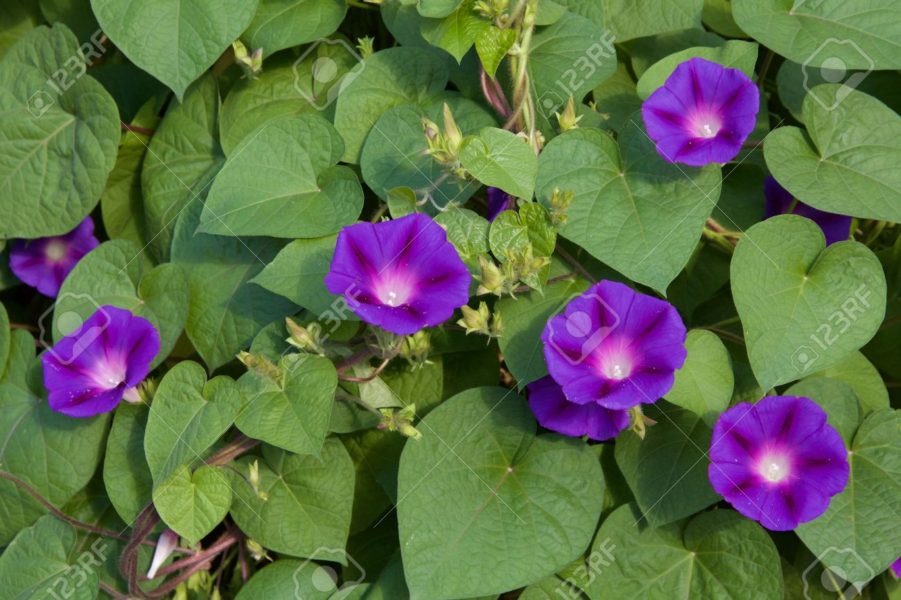 Purple Morning Glory A String Of Flowers Against Heart Shaped