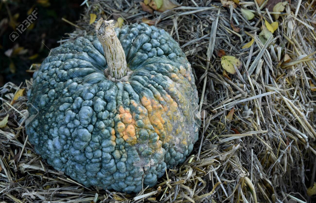Blue Gray Pumpkin Decoration Stock Images Pumpkin In The Garden Stock Photo Picture And Royalty Free Image Image 132369501