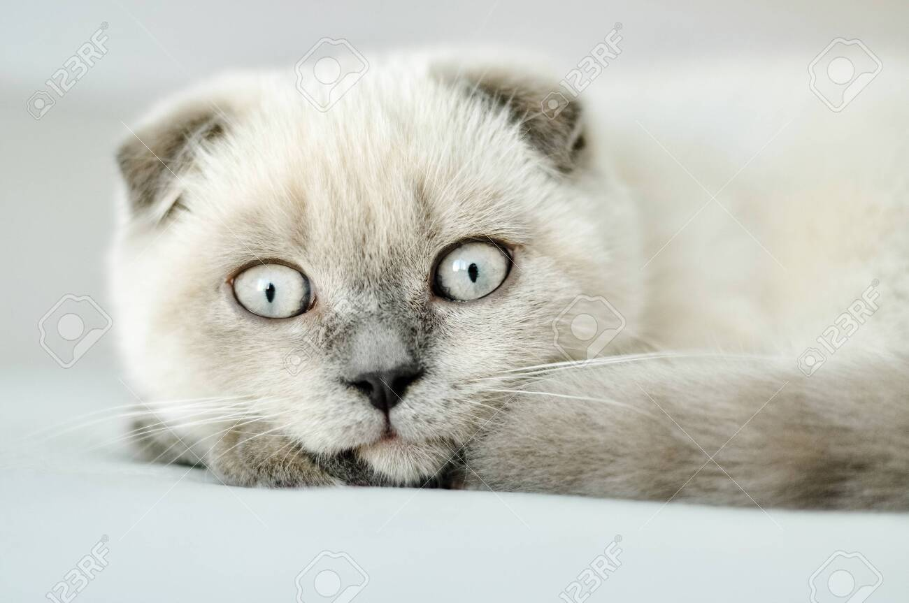 White Scottish Fold Domestic Cat Lying In Bed Beautiful White Stock Photo Picture And Royalty Free Image Image 137997203