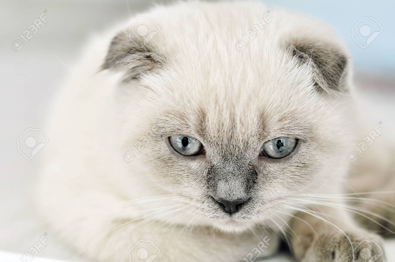 White Scottish Fold Domestic Cat Lying In Bed Beautiful White Stock Photo Picture And Royalty Free Image Image 137997208