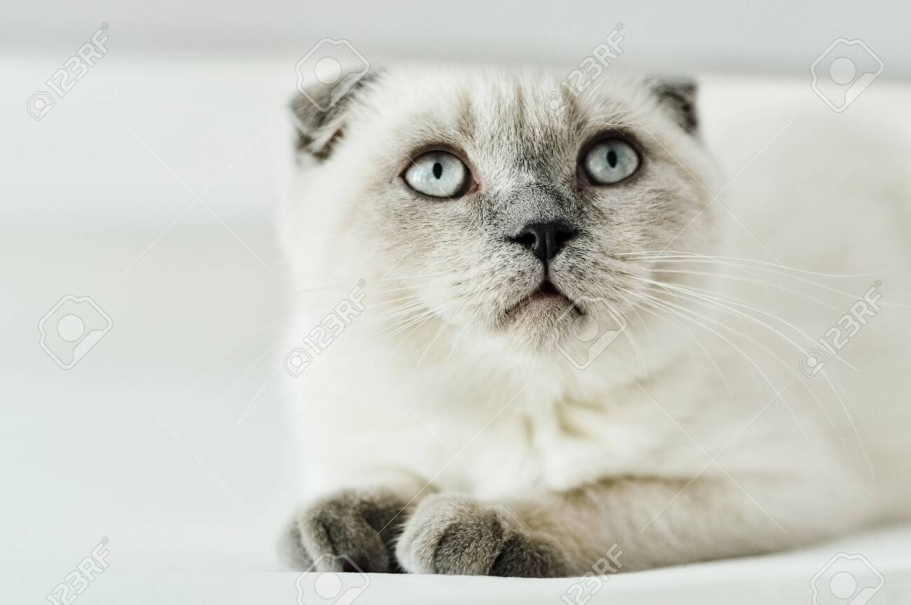 White Scottish Fold Domestic Cat Lying In Bed Beautiful White Stock Photo Picture And Royalty Free Image Image 137997254