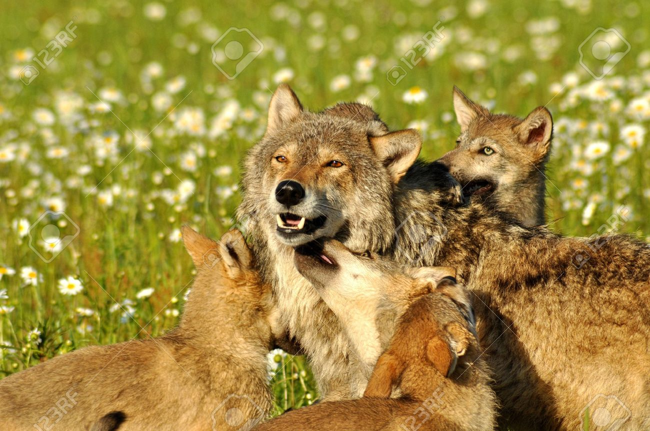 An Alpha Wolf is surrounded with wolf cubs - 21222949