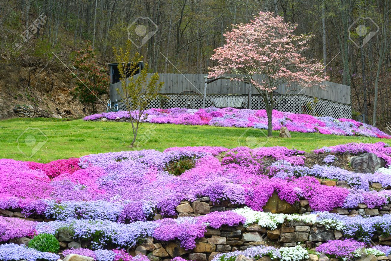 Landscaping With Creeping Phlox Flowers Stock Photo Picture And