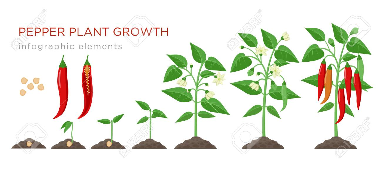 Chilli pepper plant growth stages infographic elements in flat design. Planting process of chili from seeds sprout to ripe vegetable, plant life cycle isolated on white background, vector illustration. - 113212942