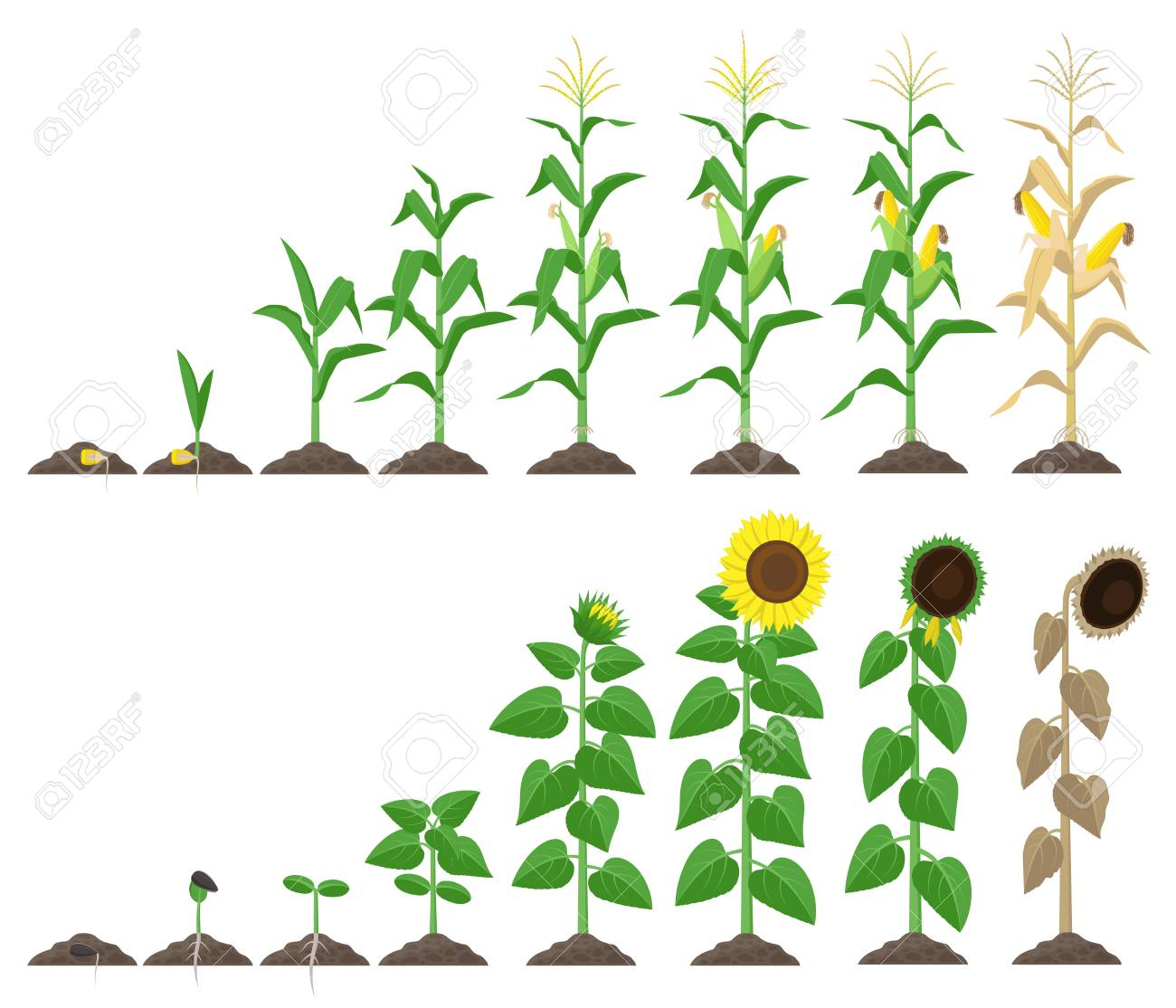 Corn plant and sunflower plant growing stages vector illustration in flat design. Maize and sunflower growth stages from seed to flowering and fruit-bearing Infographic elements isolated on white - 117528761