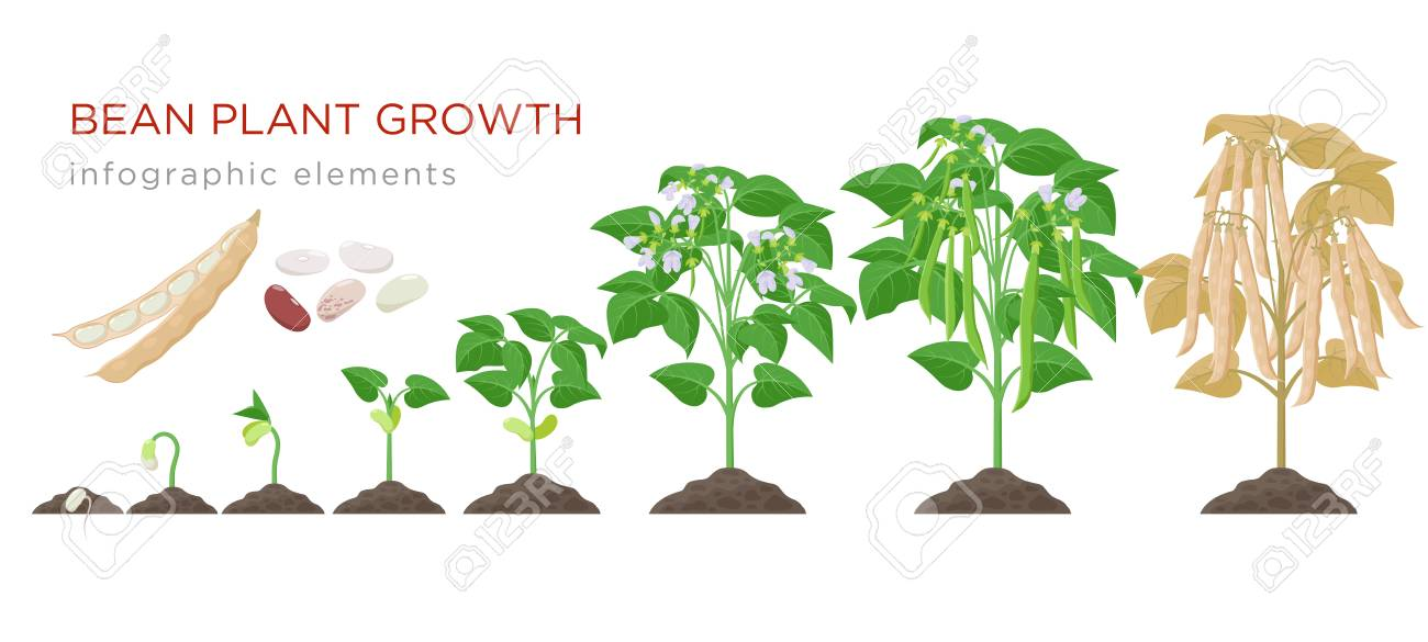 Bean plant growth stages infographic elements in flat design. Planting process of beans from seeds sprout to ripe vegetable, plant life cycle isolated on white background, vector stock illustration - 124762686