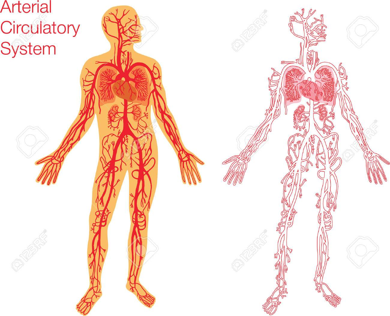 Easy To Edit Illustration Of Circulatory System Royalty Free