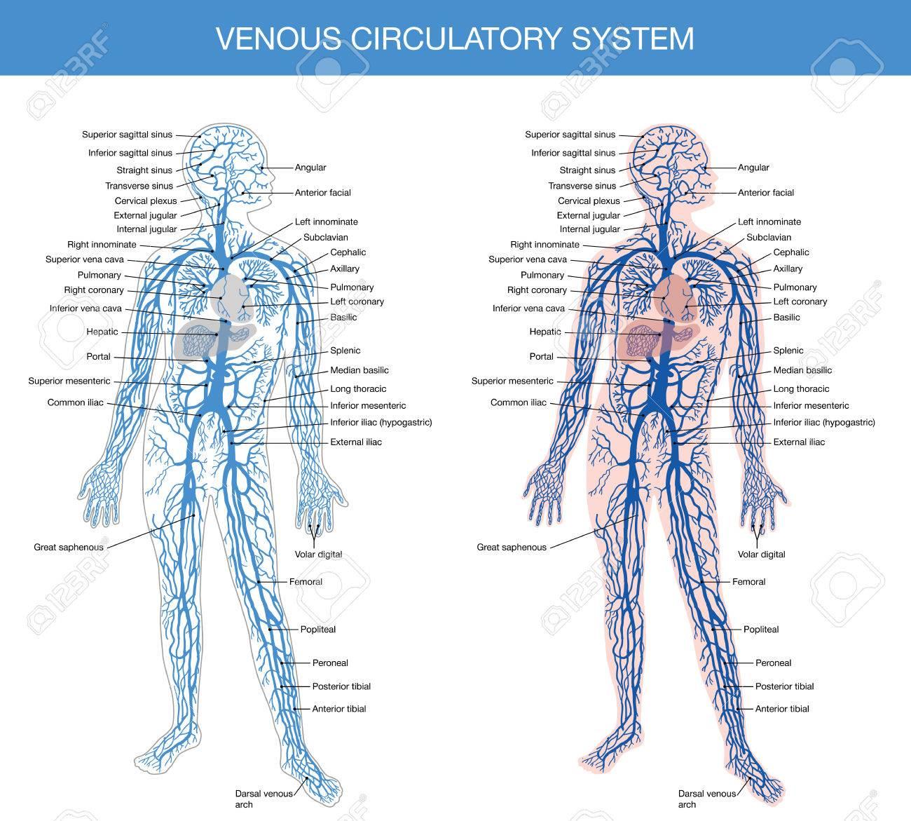 Resumen Detallado Del Cuerpo Humano - Un Libro De Texto De Anatomía ...