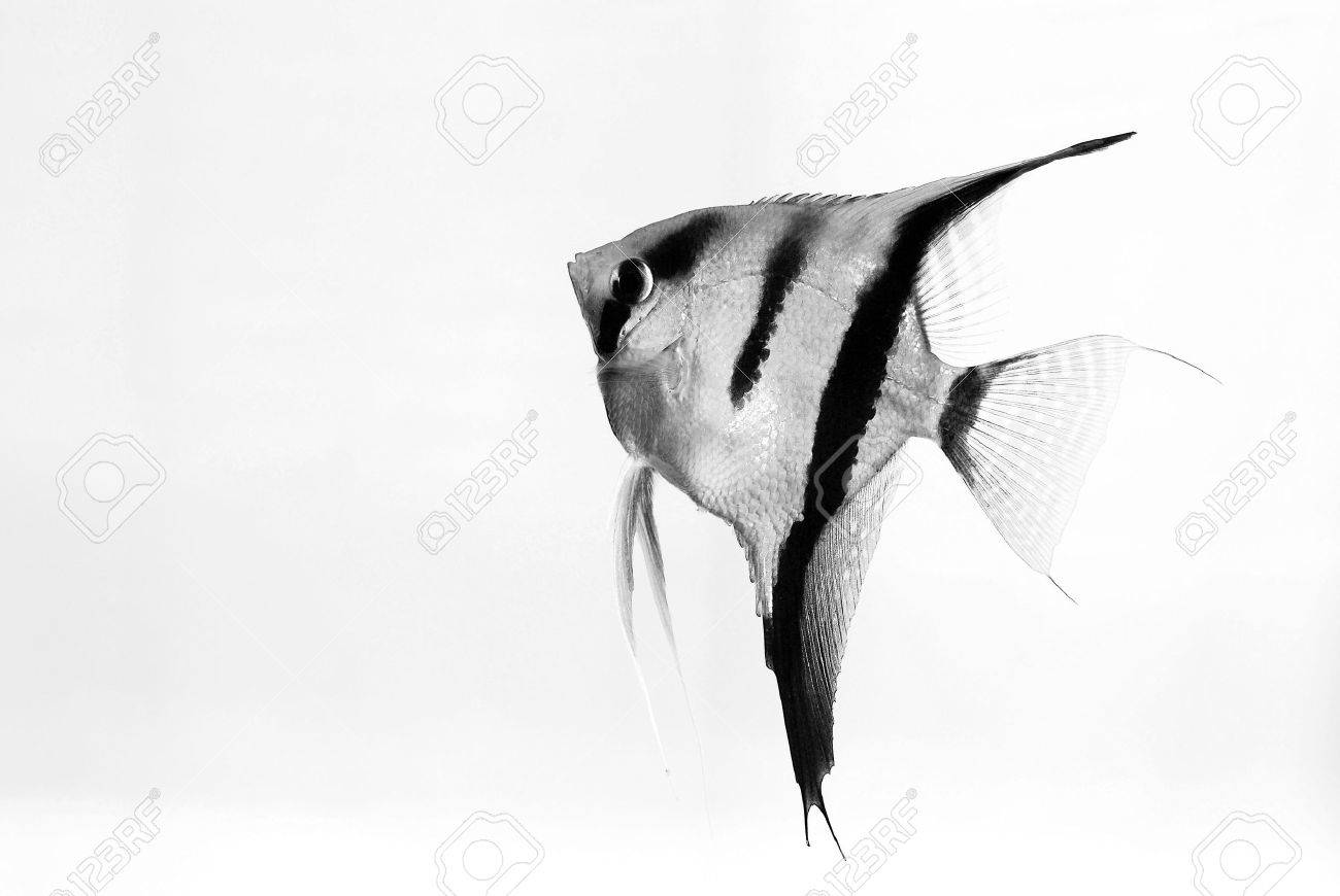 Aquarium fish on white background Stock Photo - 4960334