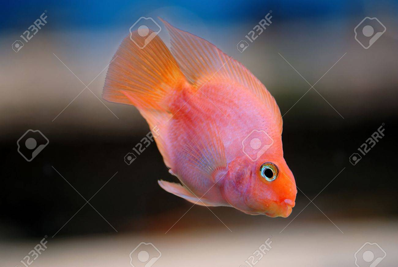 Gold fish Stock Photo - 4960332