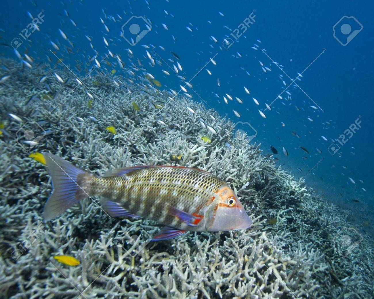 A colorful grouper swimming over a coral reef near Heron Island. Stock Photo - 17098074