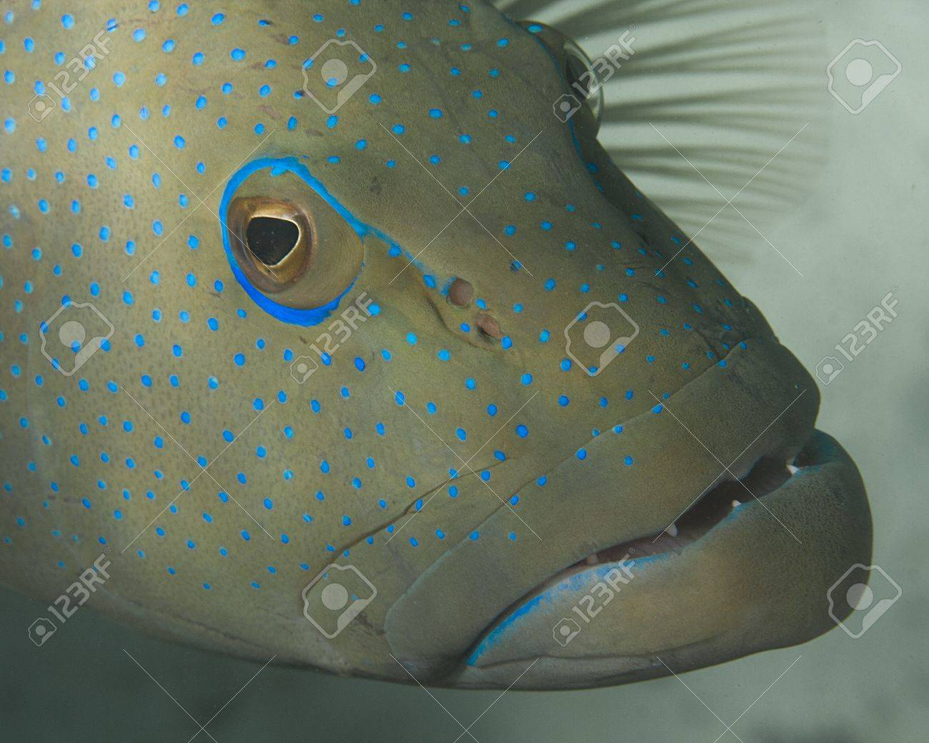 A closeup of a groupers face with blue dots. Stock Photo - 17098095