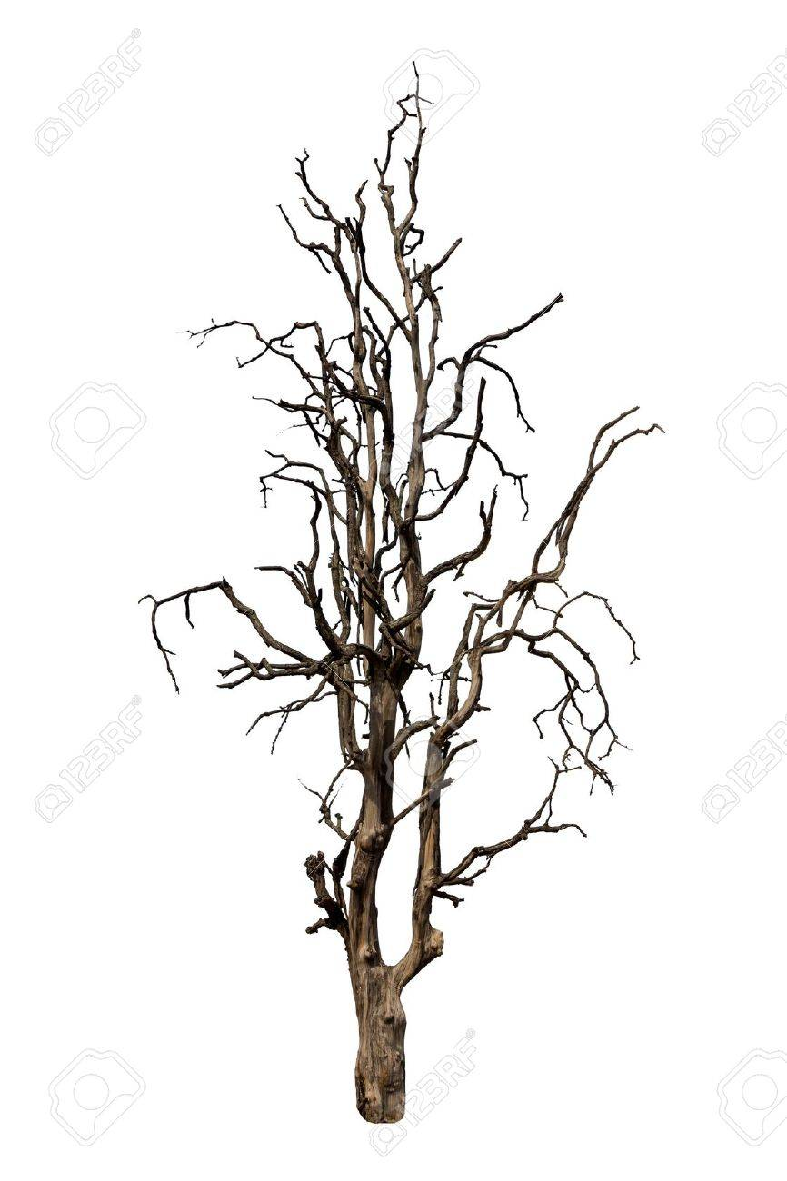 Old and dead tree isolated on white background - 19831848