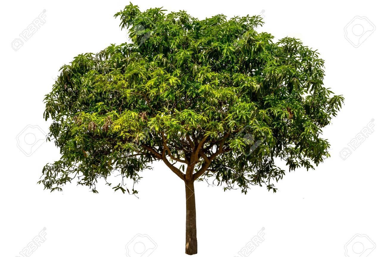 tropische boom