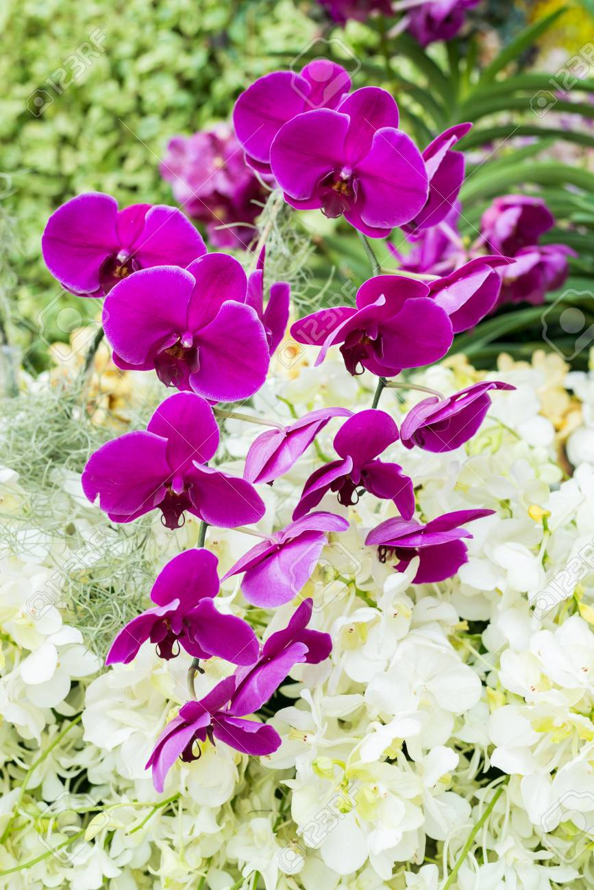 Serie De Las Flores: Primer De Orquídeas Moradas En El Jardín Fotos ...