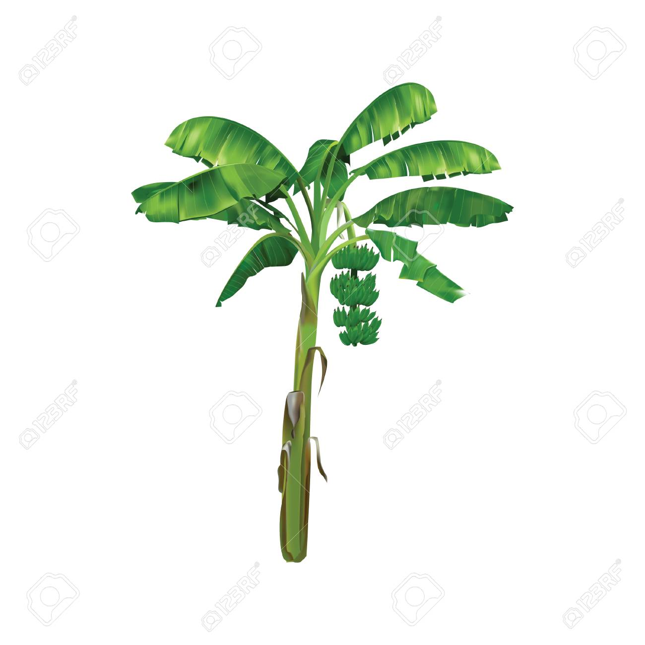 Banana Tree Royalty Free Cliparts Vectors And Stock Illustration Image 70444140
