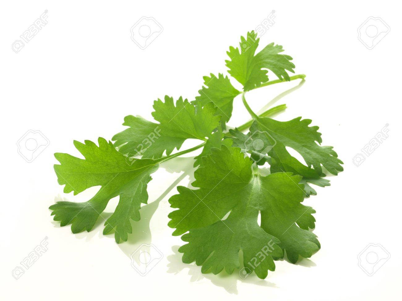 Branch of coriander on isolated white background - 13805121