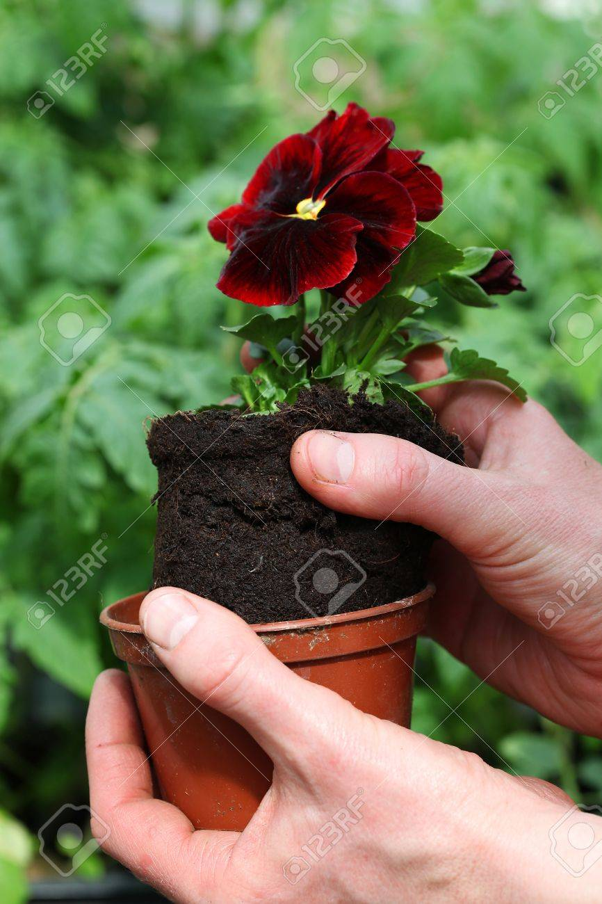 Potting young red pansy seedling Stock Photo - 20994435