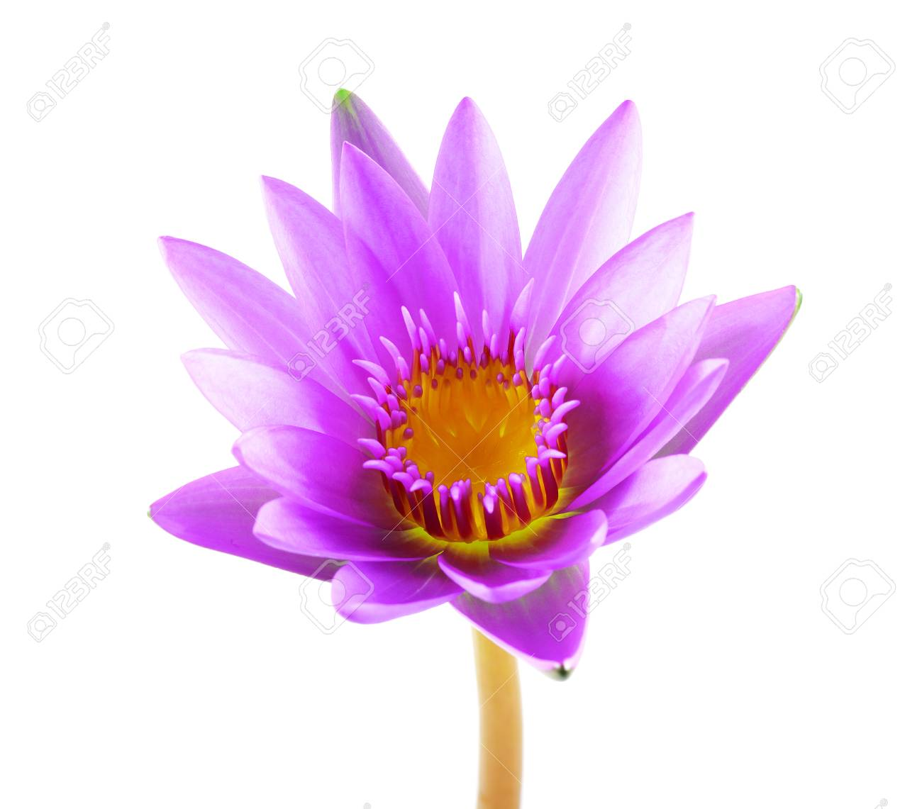 Purple lotus flower isolated on white background beautiful lotus purple lotus flower isolated on white background beautiful lotus single lotus flower isolated on izmirmasajfo Gallery
