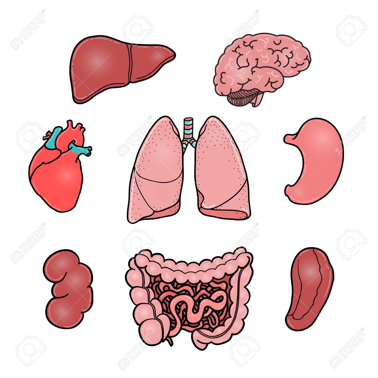 Conjunto De órganos Humanos Internos - Cerebro, El Corazón, El ...