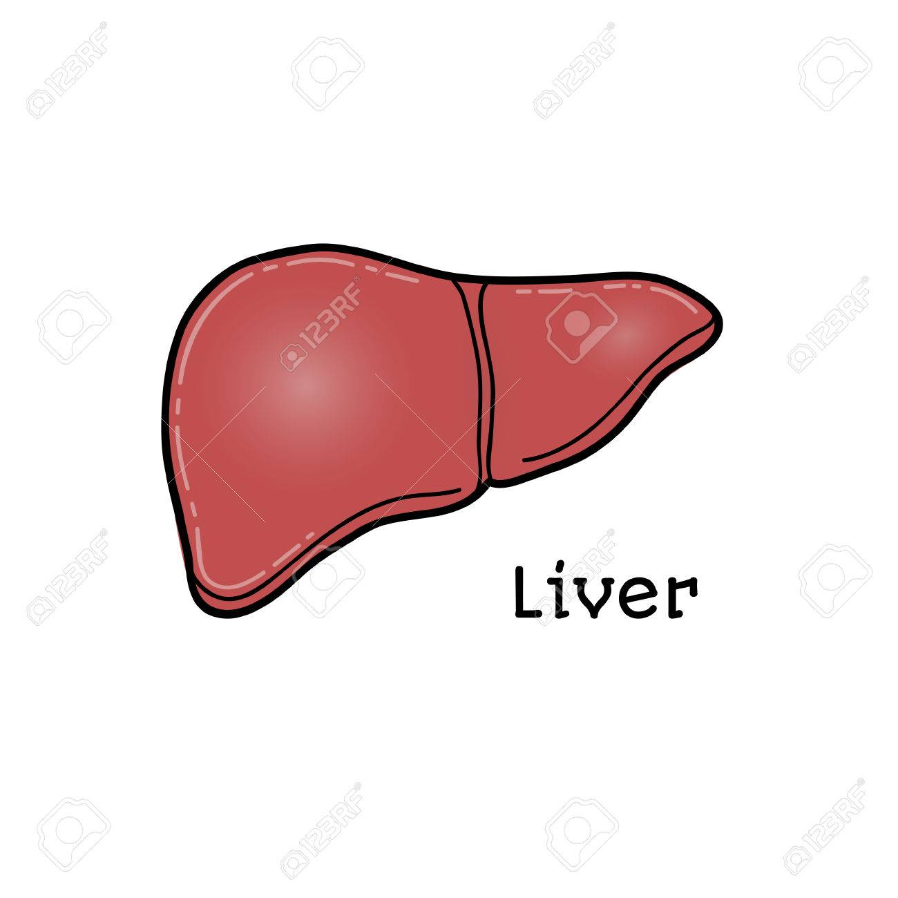 Human Liver, Anatomical Vector Illustration Isolated On White ...