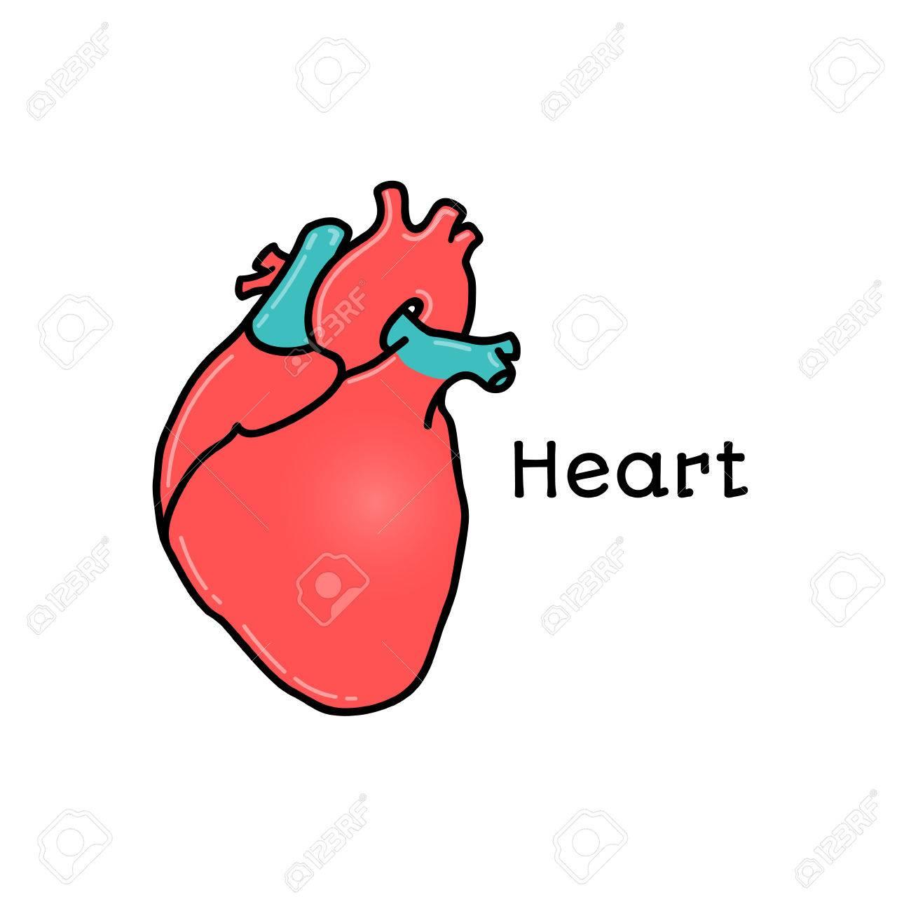 Corazón Humano, Ilustración Vectorial Anatómica Aislada En El Fondo ...