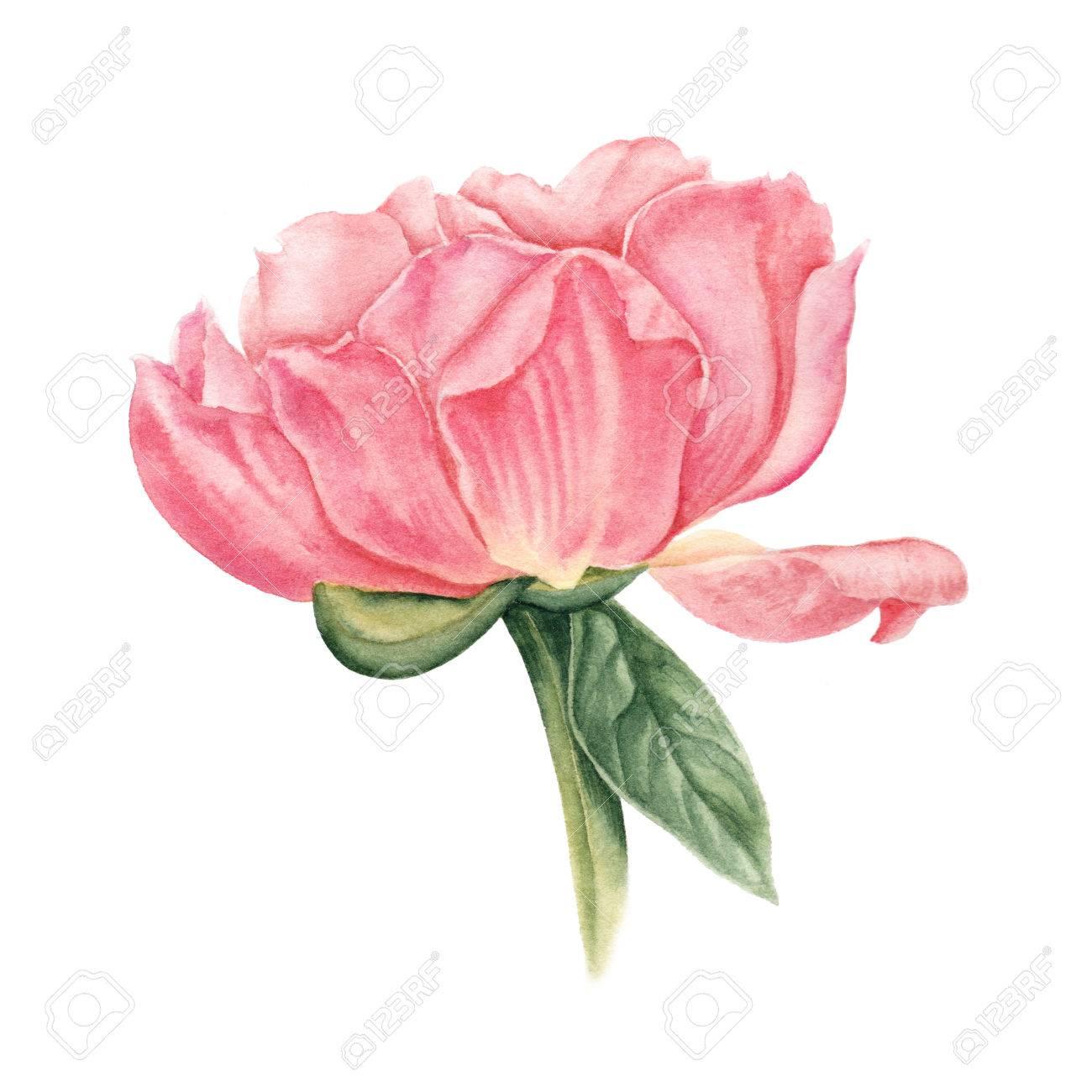 Belle Rose Pivoine Couleur Saumon Illustration Botanique Aquarelle Dessinés à La Main Isolé Sur Fond Blanc Illustration Botanique Aquarelle De