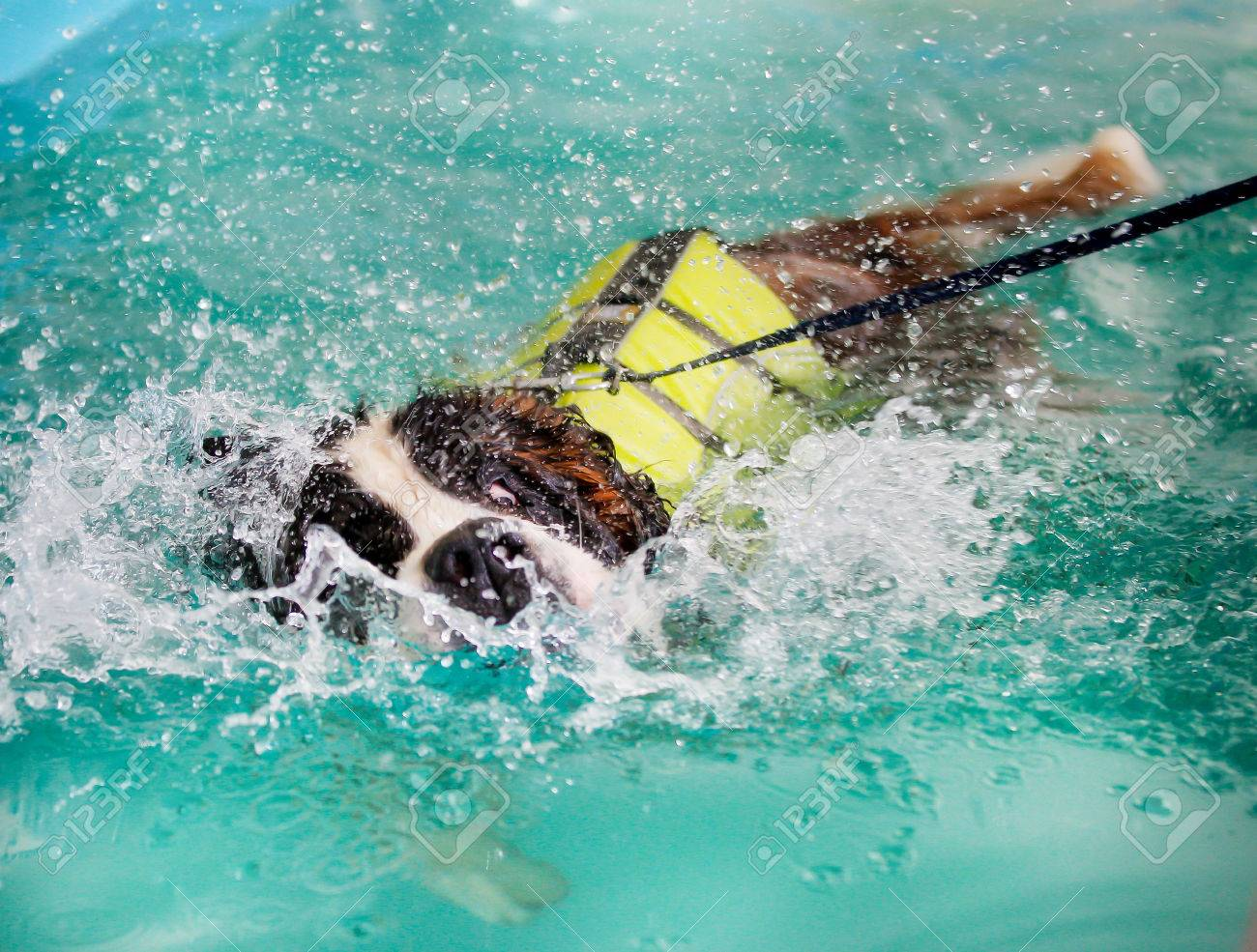 Huge St Bernard dog taking a swim in indoor swimming pool for..