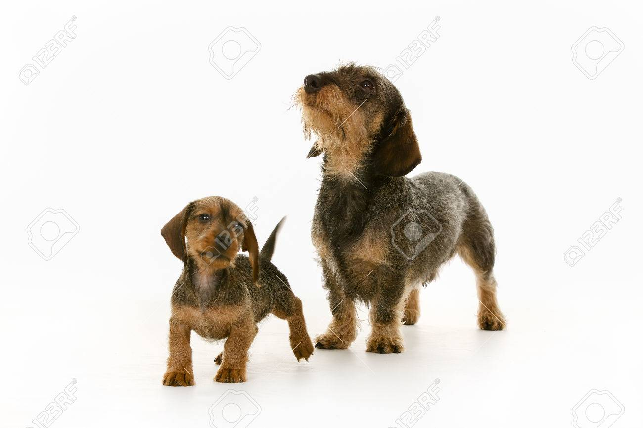 Two Purebred Brown Wirehaired Dachshund Dogs Isolated On White ...