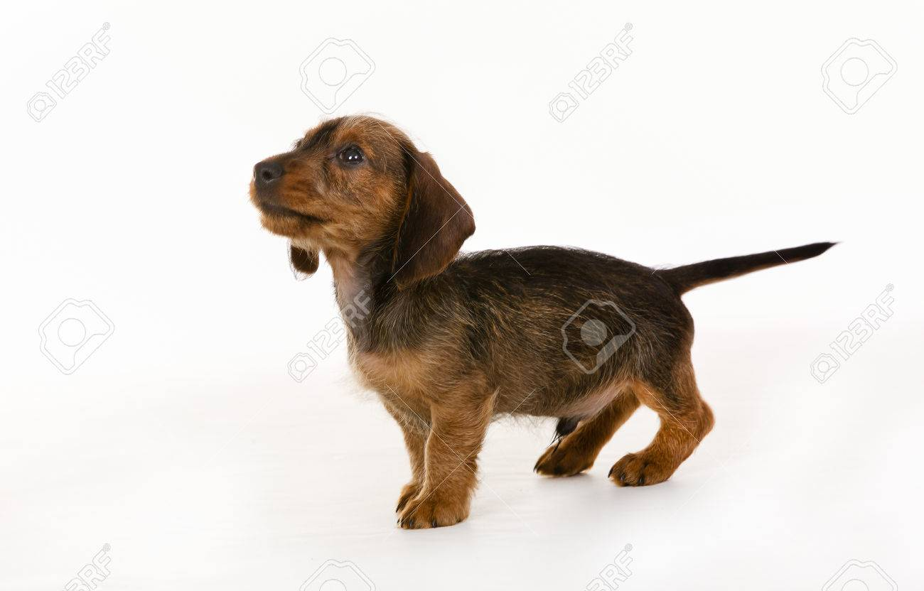 Purebred Brown Wirehaired Dachshund Dog Isolated On White Background ...