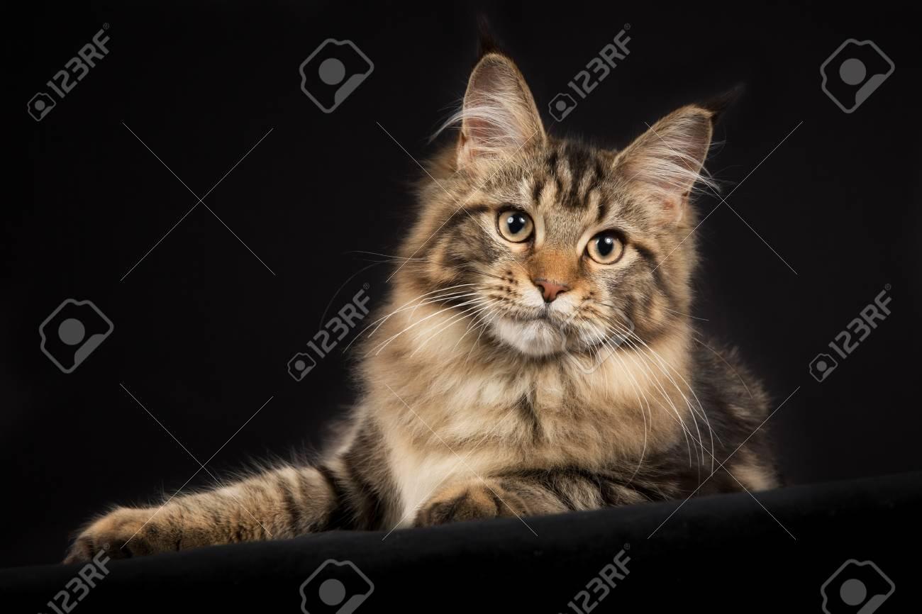 Ganzkorper Schuss Von Rasse Maine Coon Katze Auf Schwarzem Hintergrund Isoliert Drinnen Im Studio Lizenzfreie Fotos Bilder Und Stock Fotografie Image 52868157