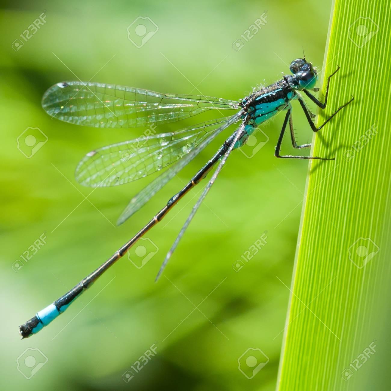 A damselfly hangs onto an iris leaf. Stock Photo - 10505267