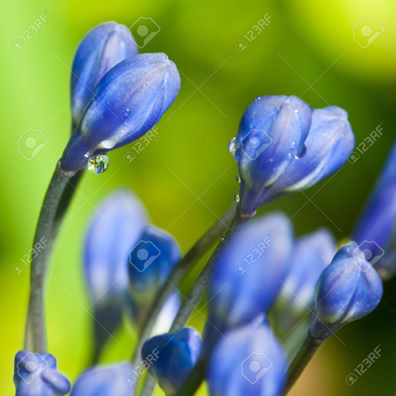 A collection of blue agapanthus buds. Stock Photo - 10516119