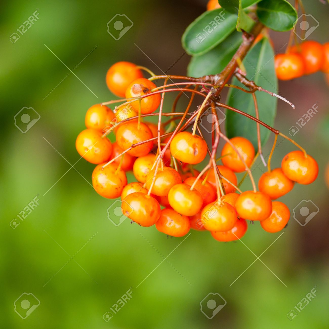 The Orange Berries Of A Pyracantha Bush Stock Photo Picture And