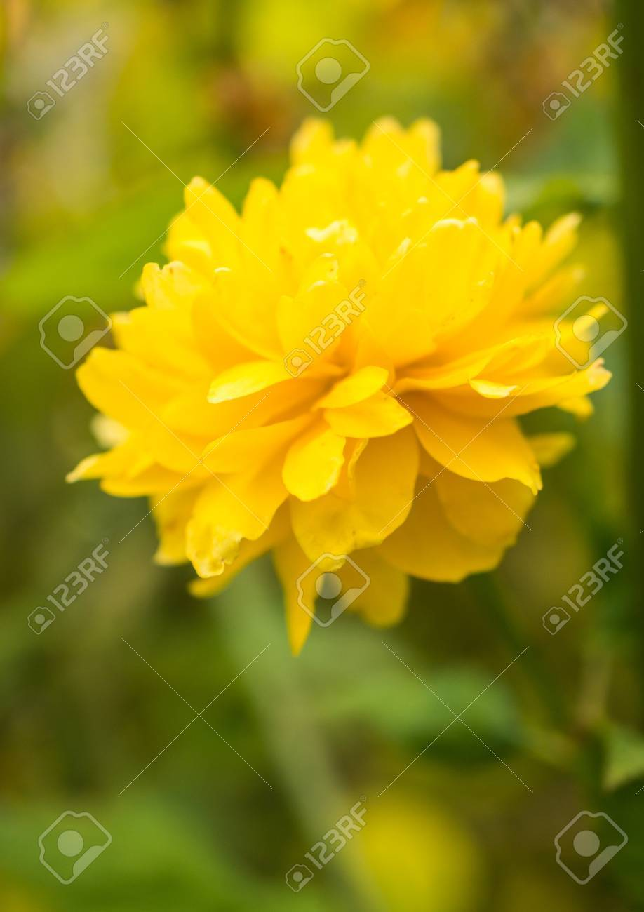 A close-up of the yellow pom pom bloom of the kerria bush Stock Photo - 13847930