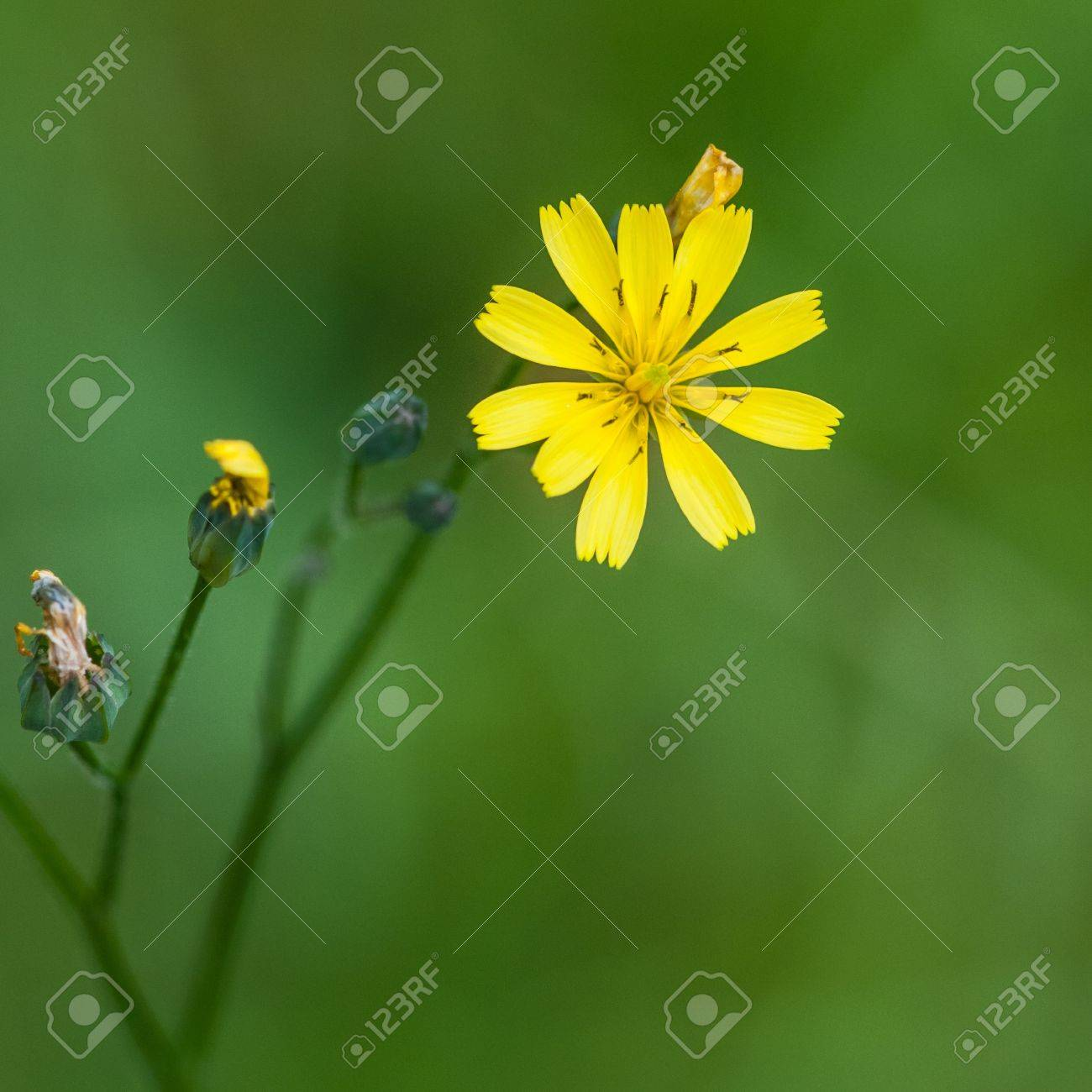 A Close Up Shot Of A Small Yellow Weed Against A Green Lawn Stock