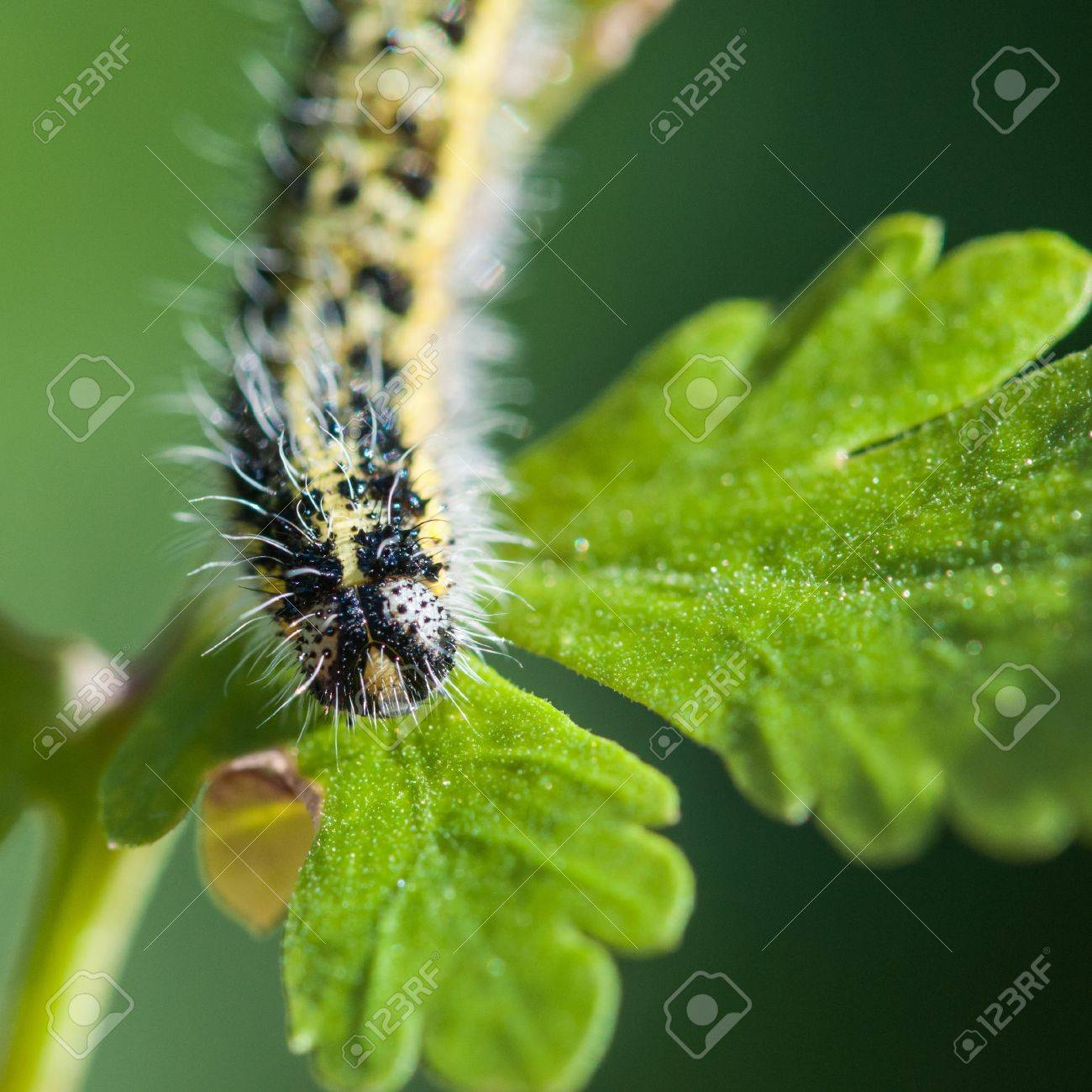 A close-up of a large white butterfly caterpillar Stock Photo - 15100975