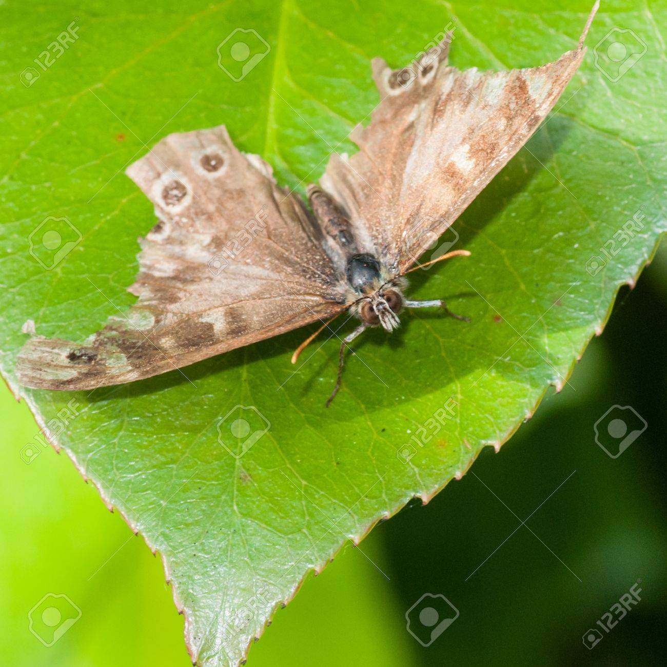 A battered looking speckled wood butterfly sits on a green leaf Stock Photo - 15505160