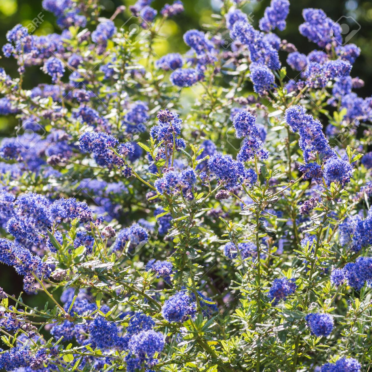 Top blue flowers bush yg78 roccommunity fresh the lovely blue flowers of a california lilac bush stock photo xl41 izmirmasajfo