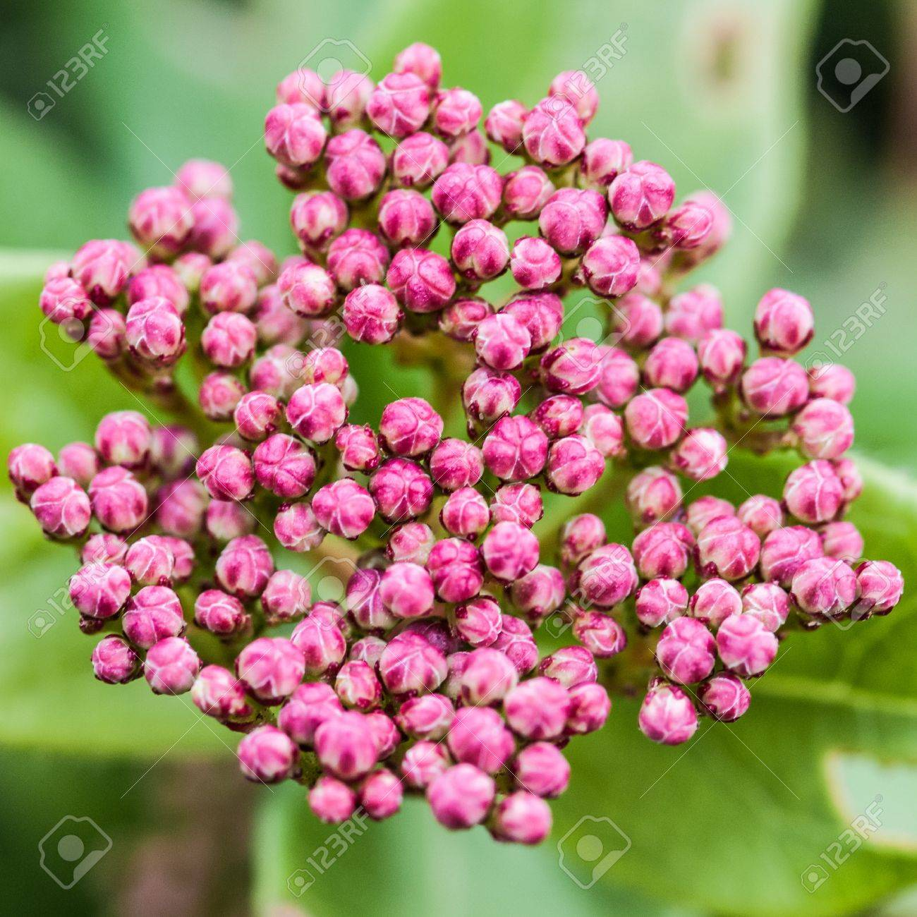 A Macro Shot Of The Tiny Flower Buds Of A Viburnum Bush Stock Photo