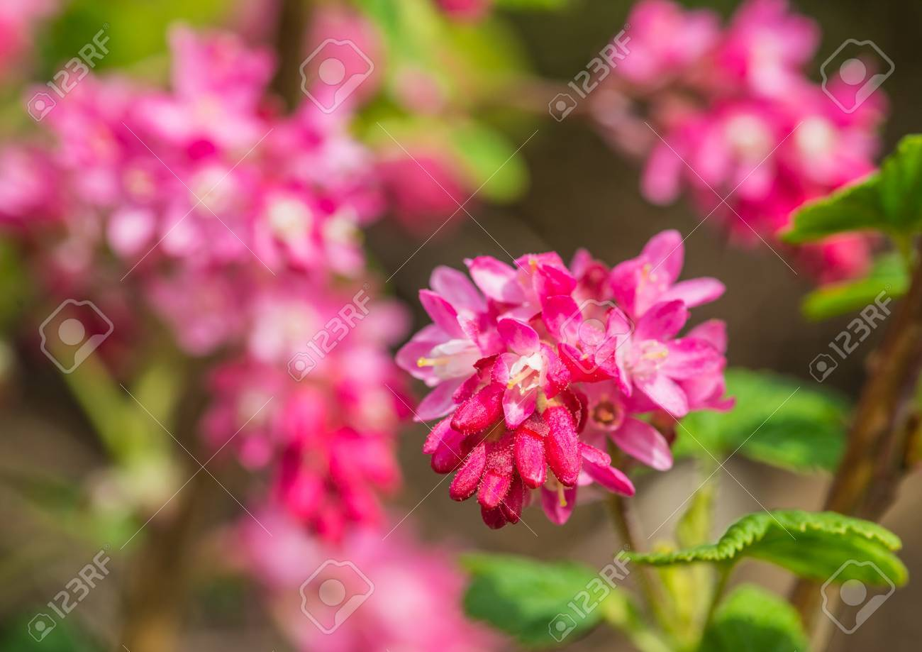 The Pink Springtime Blooms Of A Flowering Currant Bush Stock Photo