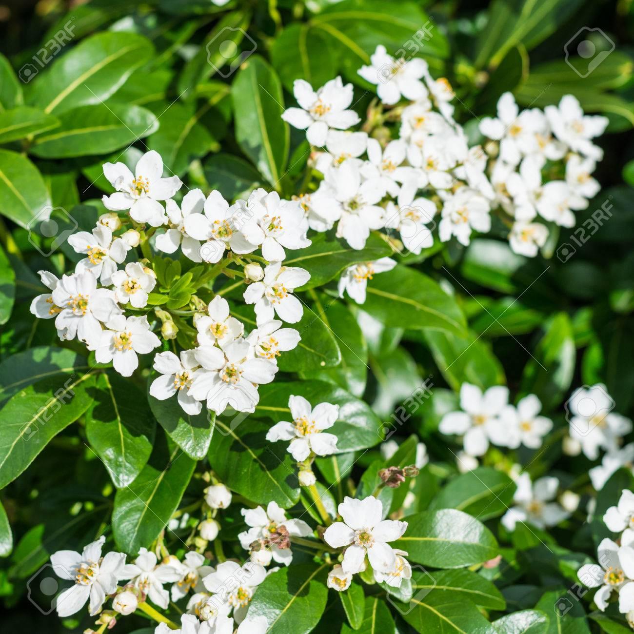Una Foto De Unas Flores Blancas De Un Arbusto De Floración Tardía ...