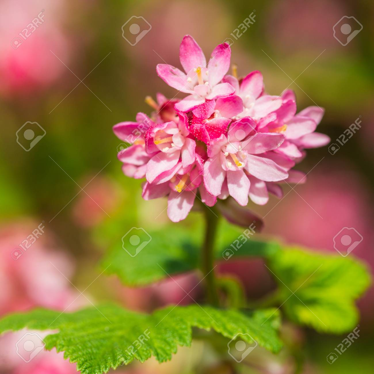 A Macro Shot Of A Pink Flowering Currant Bloom Stock Photo Picture